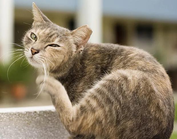 Причины чесотки у кошек: причины, признаки, лечение