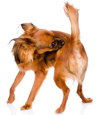 Власоеды у собак лечение народными средствами   490x434